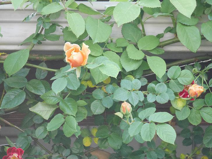 ロイヤルサンセット(Royal Sunset)の花が少しずつ増えてきた。ツルバラ。2021年-015.jpg