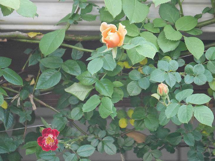 ロイヤルサンセット(Royal Sunset)の花が少しずつ増えてきた。ツルバラ。2021年-016.jpg