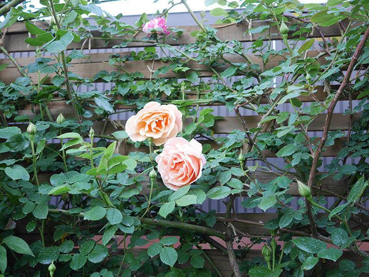 ロイヤルサンセット(Royal Sunset)の花が少しずつ増えてきた。ツルバラ。2021年-019.jpg