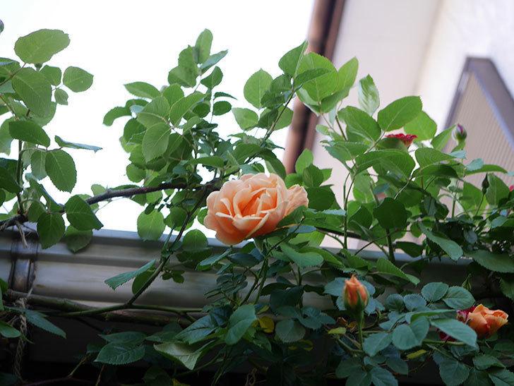 ロイヤルサンセット(Royal Sunset)の花が少しずつ増えてきた。ツルバラ。2021年-021.jpg