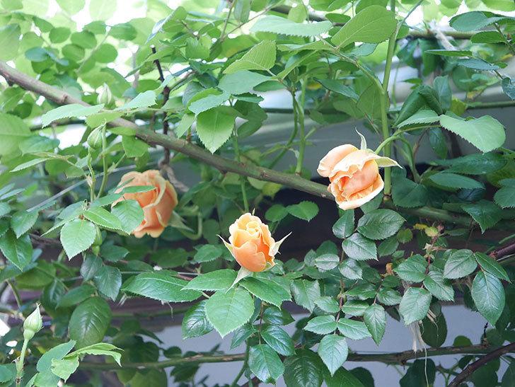 ロイヤルサンセット(Royal Sunset)の花が少しずつ増えてきた。ツルバラ。2021年-022.jpg