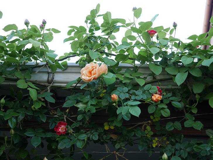 ロイヤルサンセット(Royal Sunset)の花が少しずつ増えてきた。ツルバラ。2021年-024.jpg