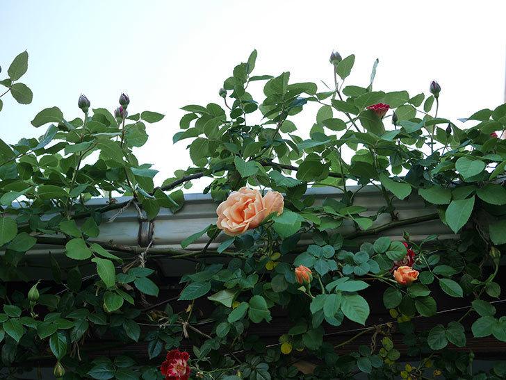 ロイヤルサンセット(Royal Sunset)の花が少しずつ増えてきた。ツルバラ。2021年-025.jpg