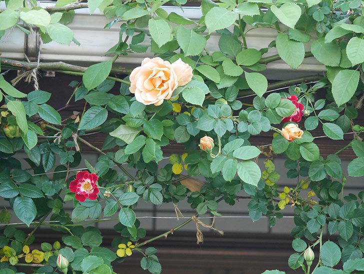 ロイヤルサンセット(Royal Sunset)の花が少しずつ増えてきた。ツルバラ。2021年-026.jpg