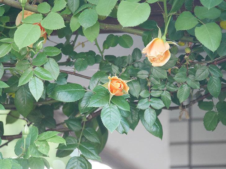 ロイヤルサンセット(Royal Sunset)の花が少しずつ増えてきた。ツルバラ。2021年-027.jpg