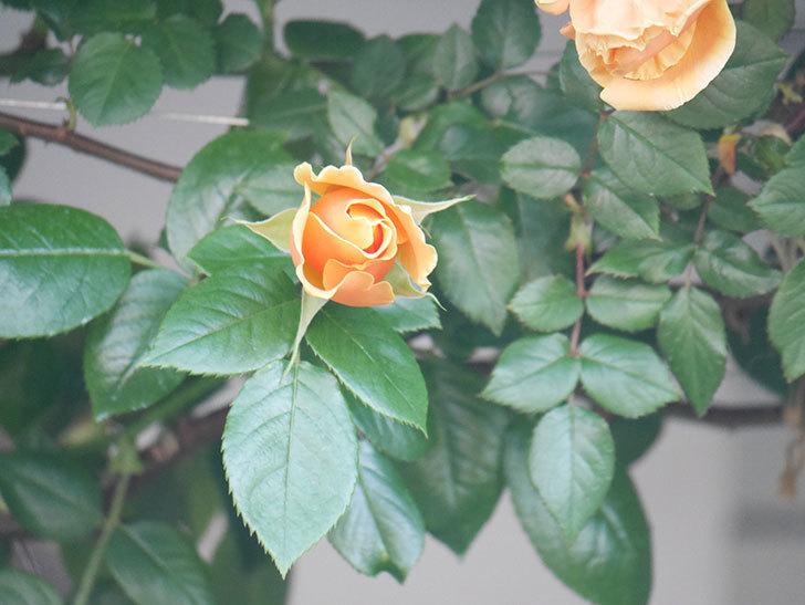 ロイヤルサンセット(Royal Sunset)の花が少しずつ増えてきた。ツルバラ。2021年-028.jpg