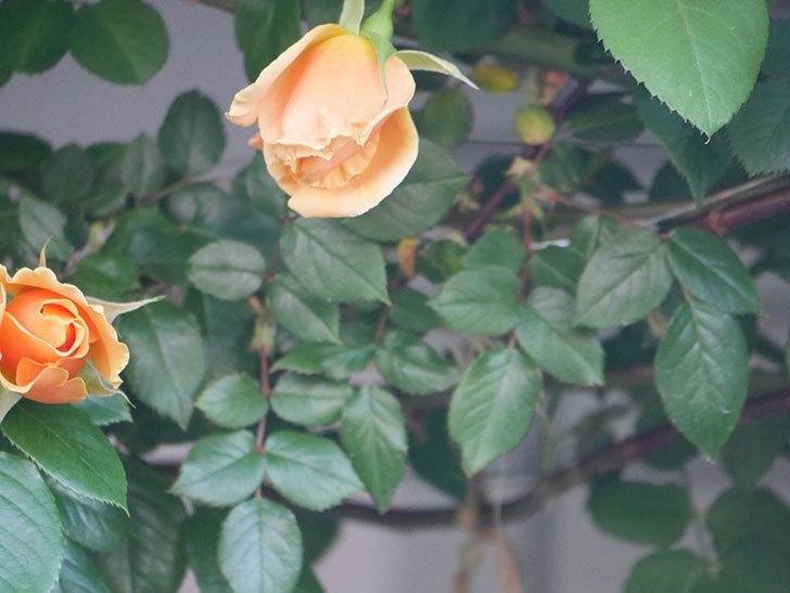 ロイヤルサンセット(Royal Sunset)の花が少しずつ増えてきた。ツルバラ。2021年-029.jpg