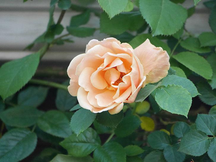 ロイヤルサンセット(Royal Sunset)の花が少しずつ増えてきた。ツルバラ。2021年-030.jpg