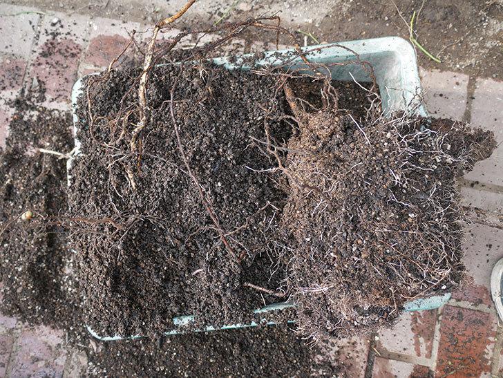 ロイヤルサンセットの植え替えをしたらコガネの幼虫が大量にいた。2020年12月-004.jpg