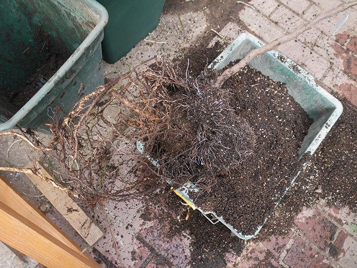 ロイヤルサンセットの植え替えをしたらコガネの幼虫が大量にいた。2020年12月-010.jpg