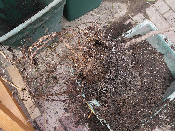 ロイヤルサンセットの植え替えをしたらコガネの幼虫が大量にいた。2020年12月-011.jpg