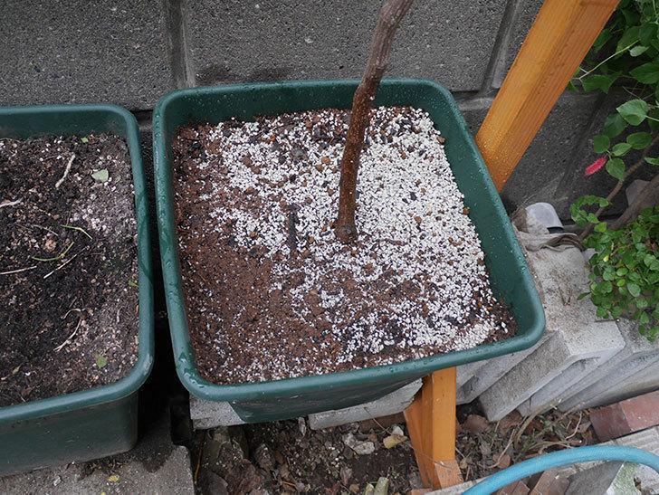 ロイヤルサンセットの植え替えをしたらコガネの幼虫が大量にいた。2020年12月-017.jpg
