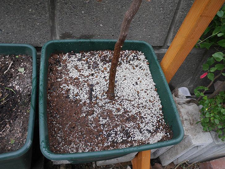 ロイヤルサンセットの植え替えをしたらコガネの幼虫が大量にいた。2020年12月-018.jpg