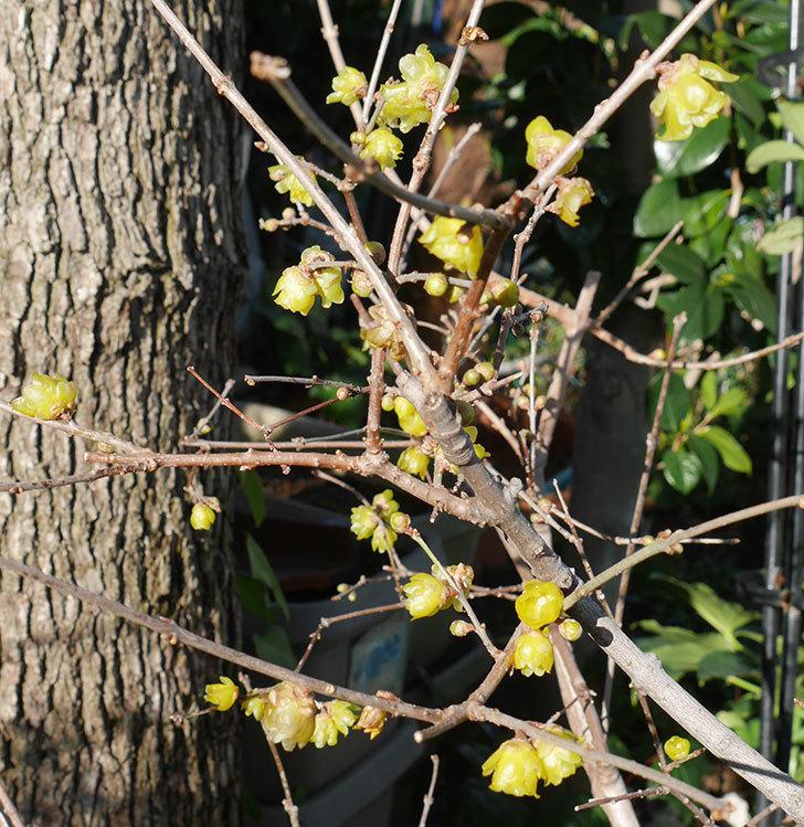 ロウバイ(蝋梅)の花がたくさん咲いた。2020年-1.jpg