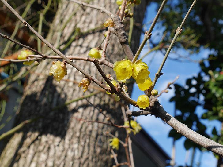 ロウバイ(蝋梅)の花がたくさん咲いた。2020年-4.jpg