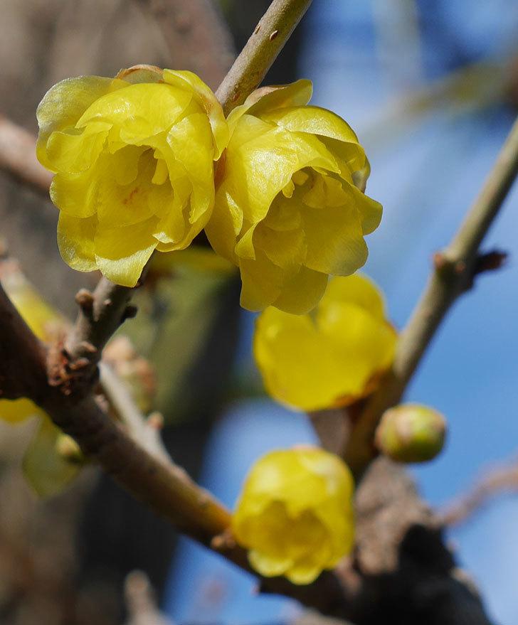 ロウバイ(蝋梅)の花がたくさん咲いた。2020年-5.jpg