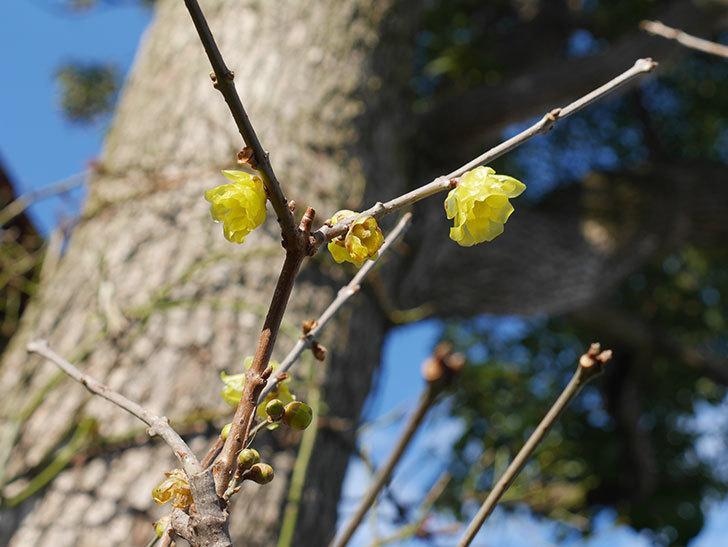 ロウバイ(蝋梅)の花がたくさん咲いた。2020年-6.jpg