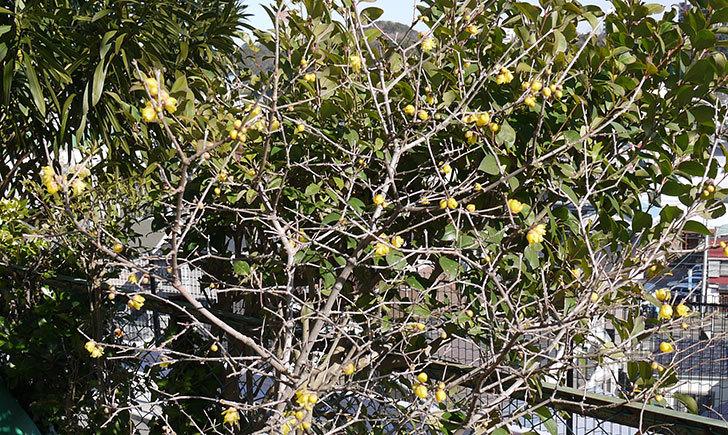 ロウバイ(蝋梅)の花が咲いた2.jpg