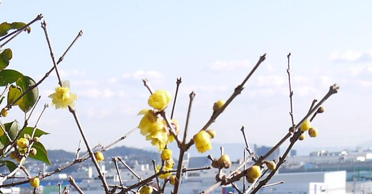 ロウバイ(蝋梅)の花が咲いた3.jpg