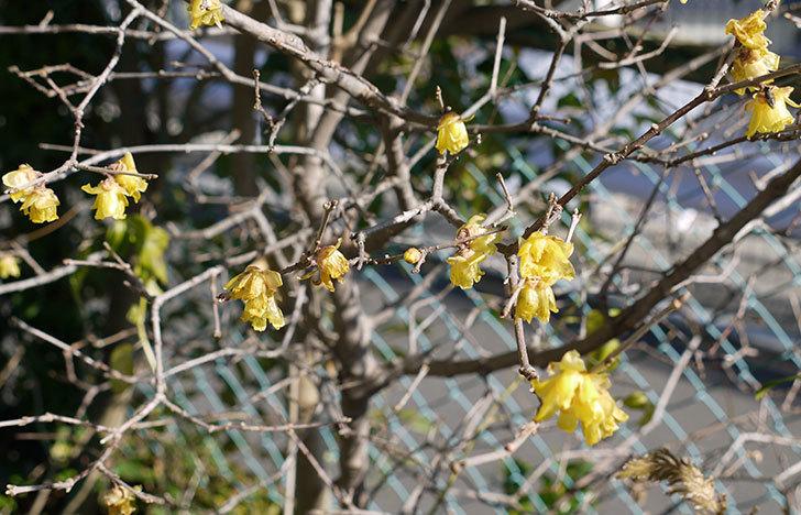 ロウバイ(蝋梅)の花が咲いた。2015-1.jpg