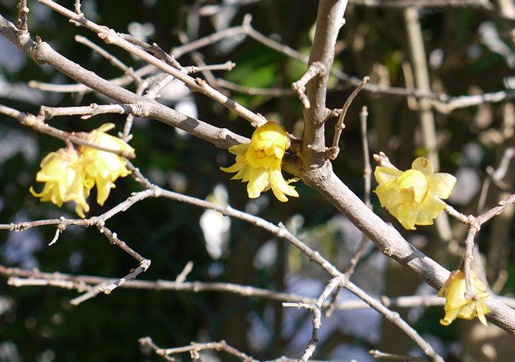 ロウバイ(蝋梅)の花が咲いた。2015-2.jpg