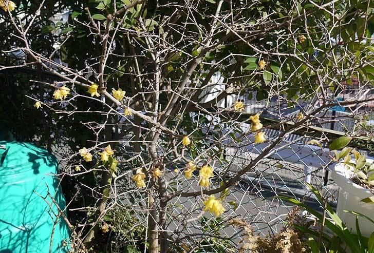 ロウバイ(蝋梅)の花が咲いた。2015-3.jpg