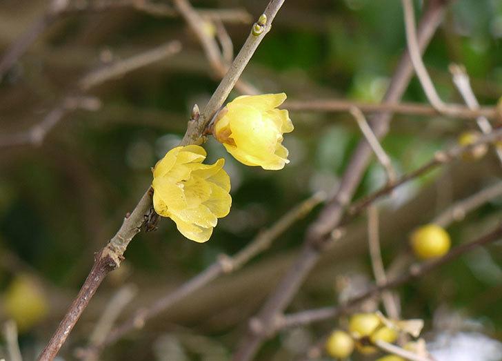 ロウバイ(蝋梅)の花が咲いた。2015年12月-1.jpg