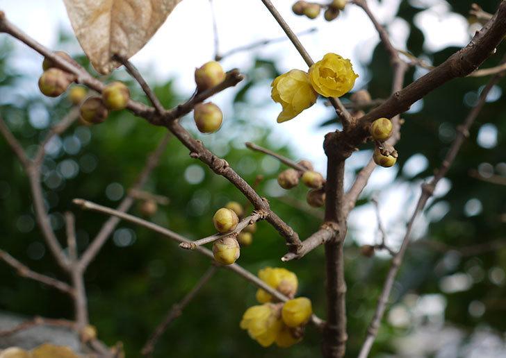 ロウバイ(蝋梅)の花が咲いた。2015年12月-3.jpg