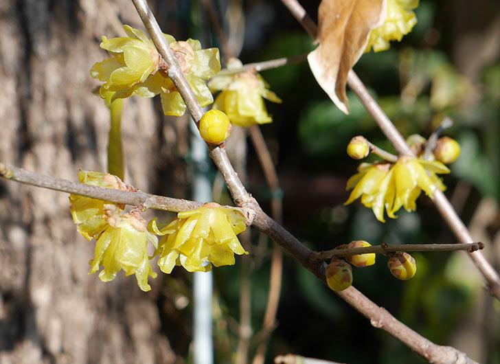 ロウバイ(蝋梅)の花が咲いた。2018年-1.jpg