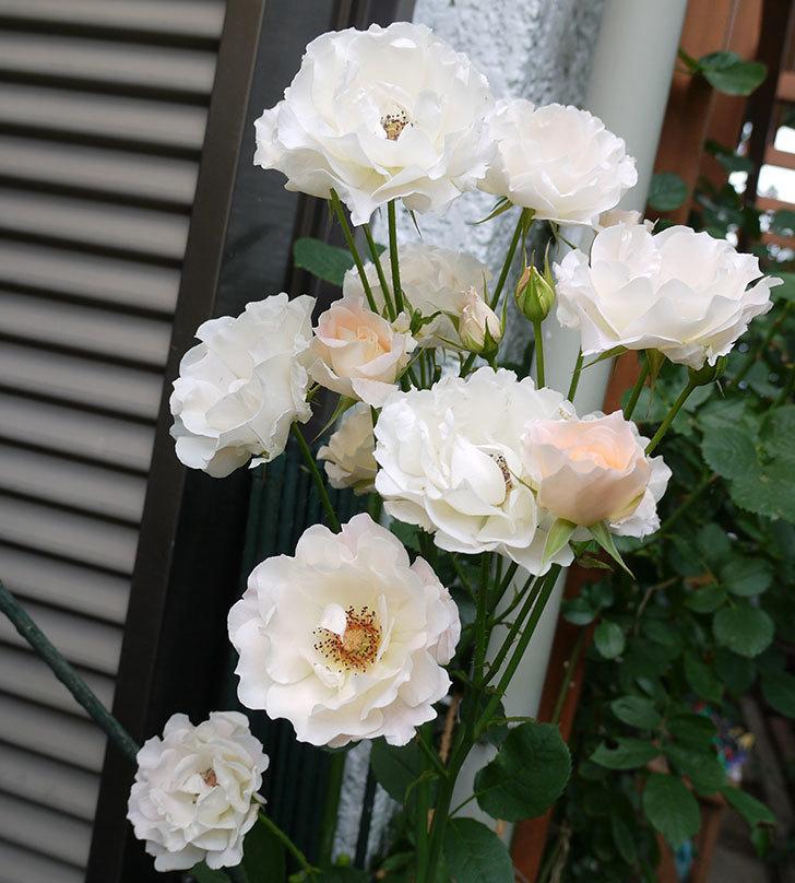 ロココ(ツルバラ)がたくさん咲いた。2017年-2.jpg