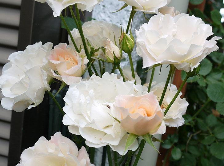 ロココ(ツルバラ)がたくさん咲いた。2017年-3.jpg