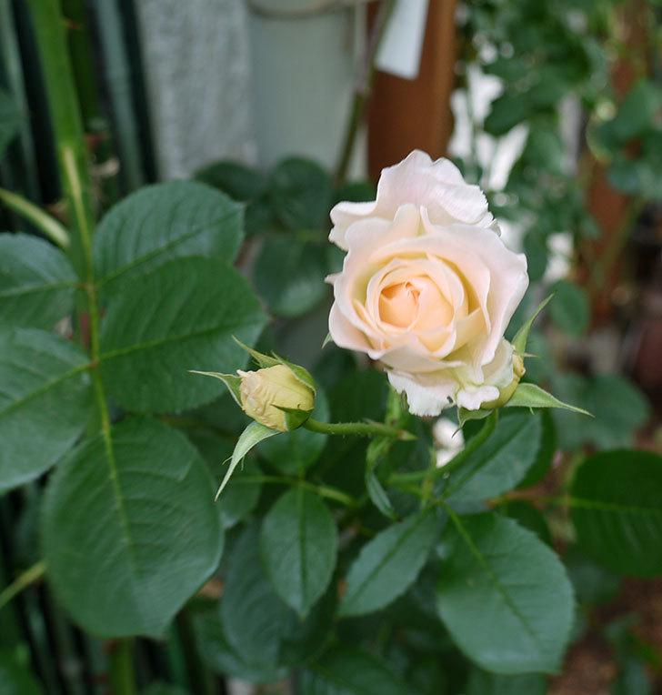 ロココ(ツルバラ)がまた咲いた。2017年-2.jpg
