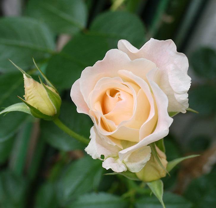 ロココ(ツルバラ)がまた咲いた。2017年-3.jpg
