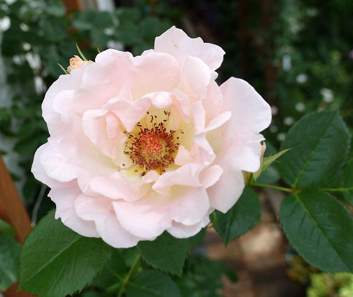 ロココ(ツルバラ)がまた咲いた。2017年-4.jpg