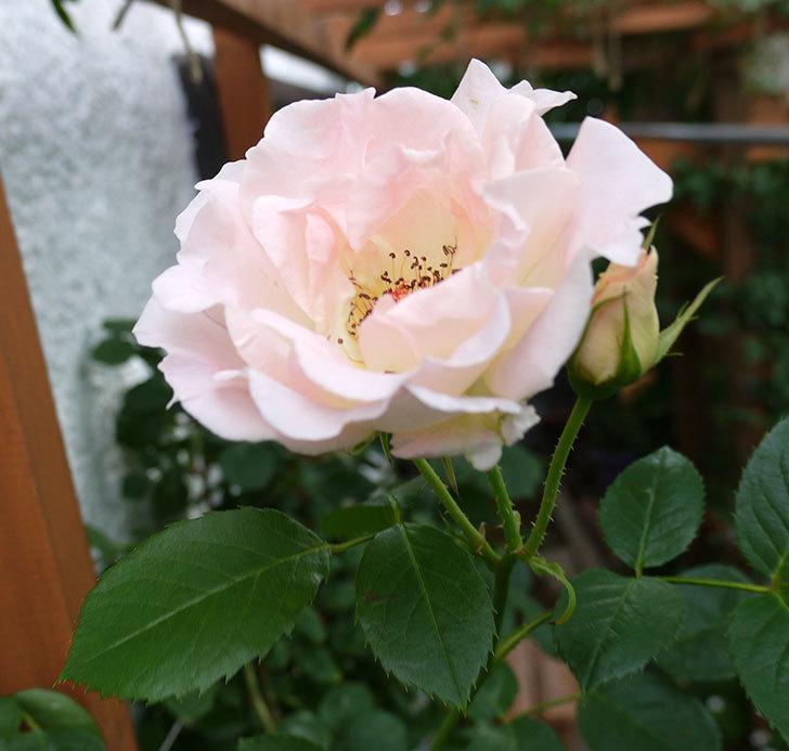 ロココ(ツルバラ)がまた咲いた。2017年-5.jpg