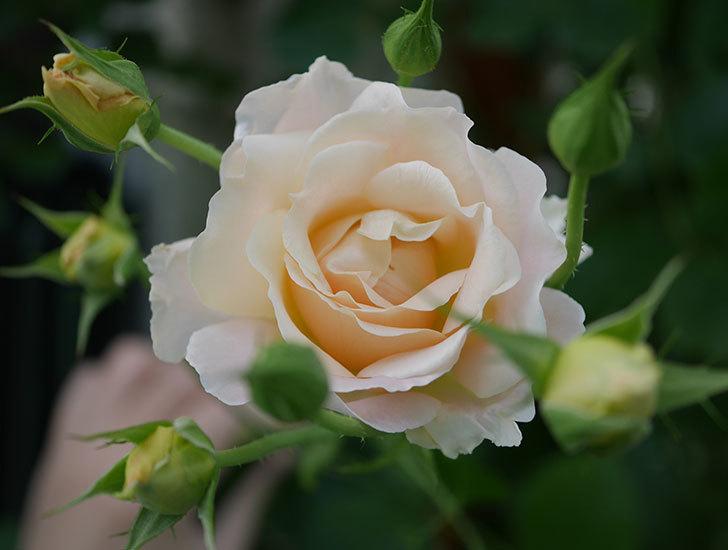 ロココ(ツルバラ)がまた咲いた。2018年-1.jpg