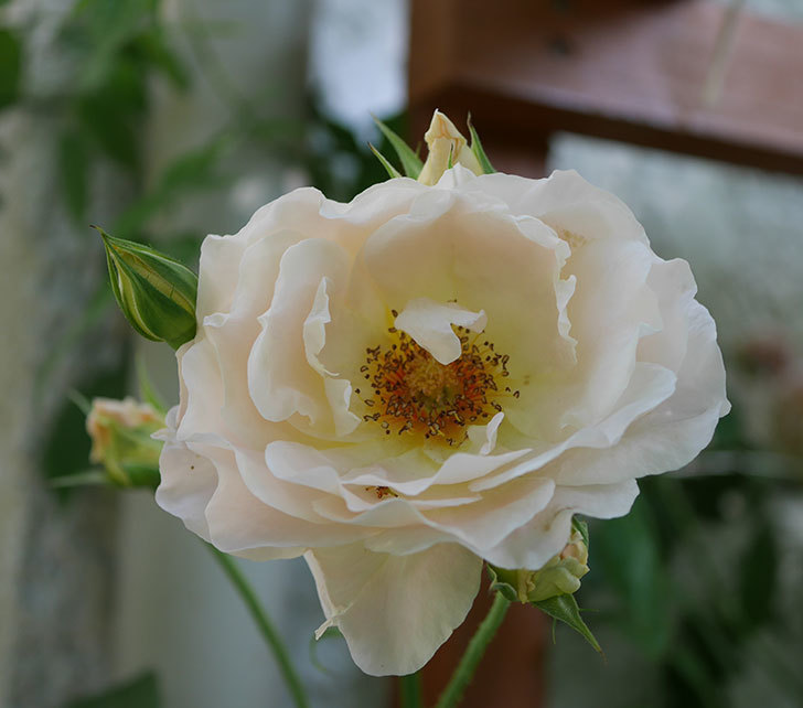 ロココ(ツルバラ)がまた咲いた。2018年-3.jpg