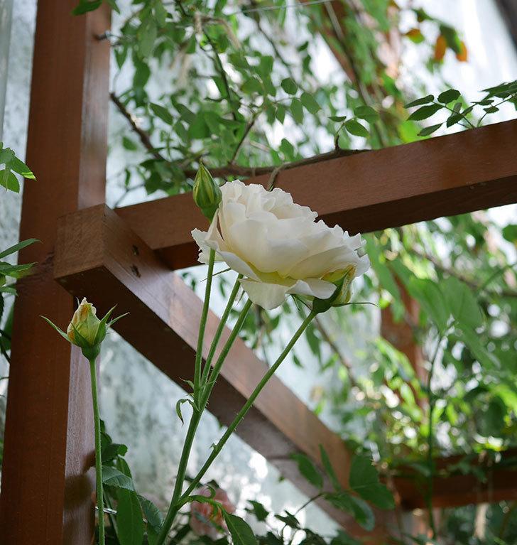 ロココ(ツルバラ)がまた咲いた。2018年-4.jpg