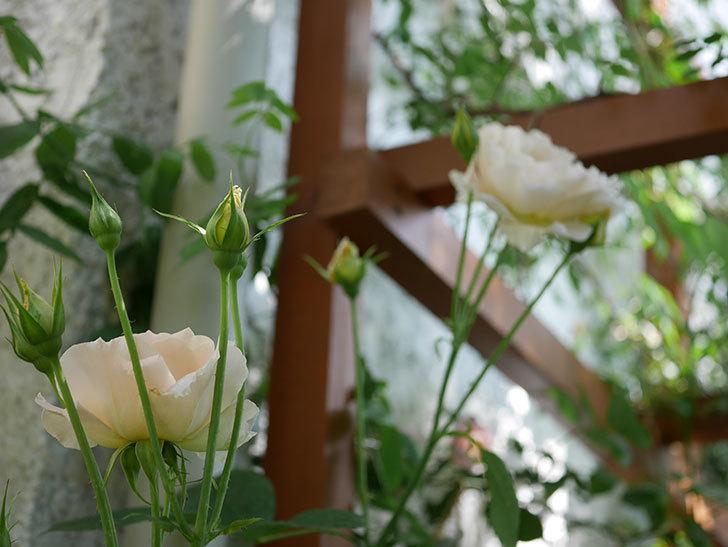 ロココ(ツルバラ)がまた咲いた。2018年-5.jpg