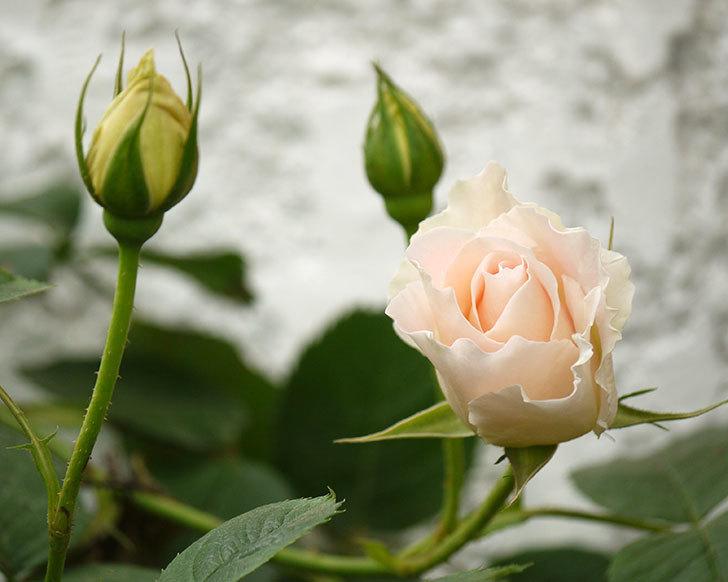 ロココ(ツルバラ)が咲いた。2017年-1.jpg