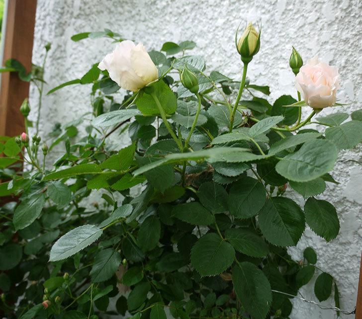 ロココ(ツルバラ)が咲いた。2017年-10.jpg