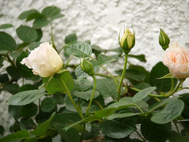 ロココ(ツルバラ)が咲いた。2017年-3.jpg