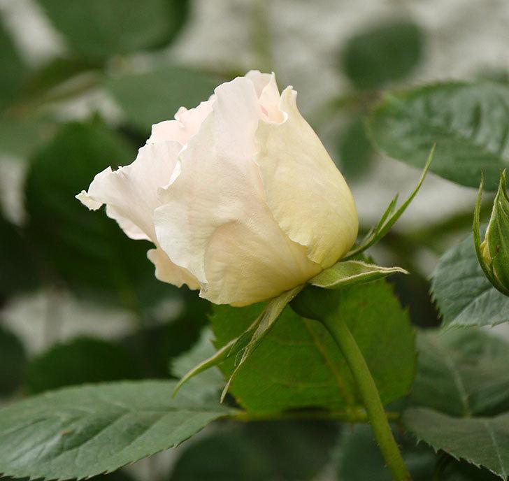 ロココ(ツルバラ)が咲いた。2017年-4.jpg