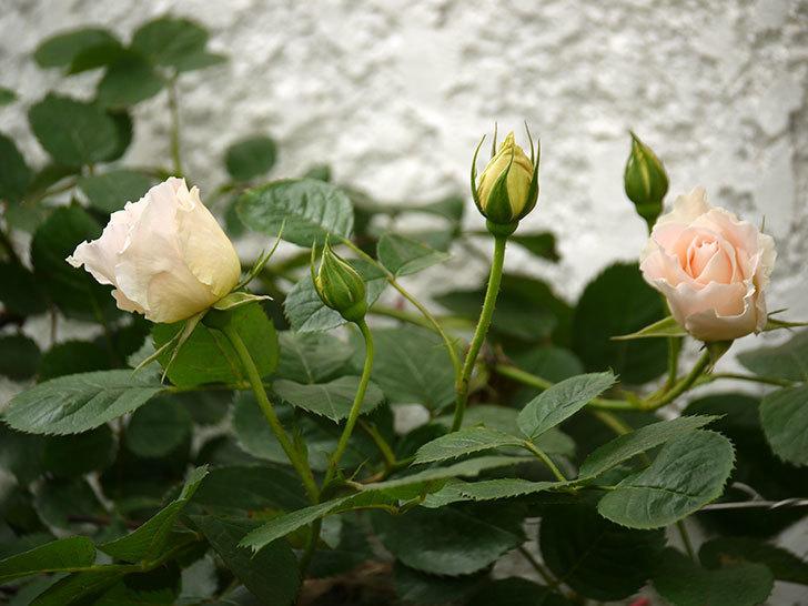 ロココ(ツルバラ)が咲いた。2017年-5.jpg
