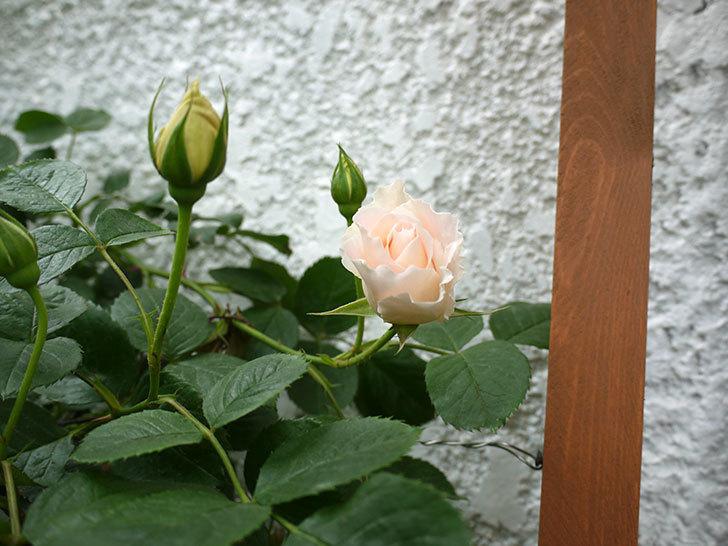 ロココ(ツルバラ)が咲いた。2017年-6.jpg