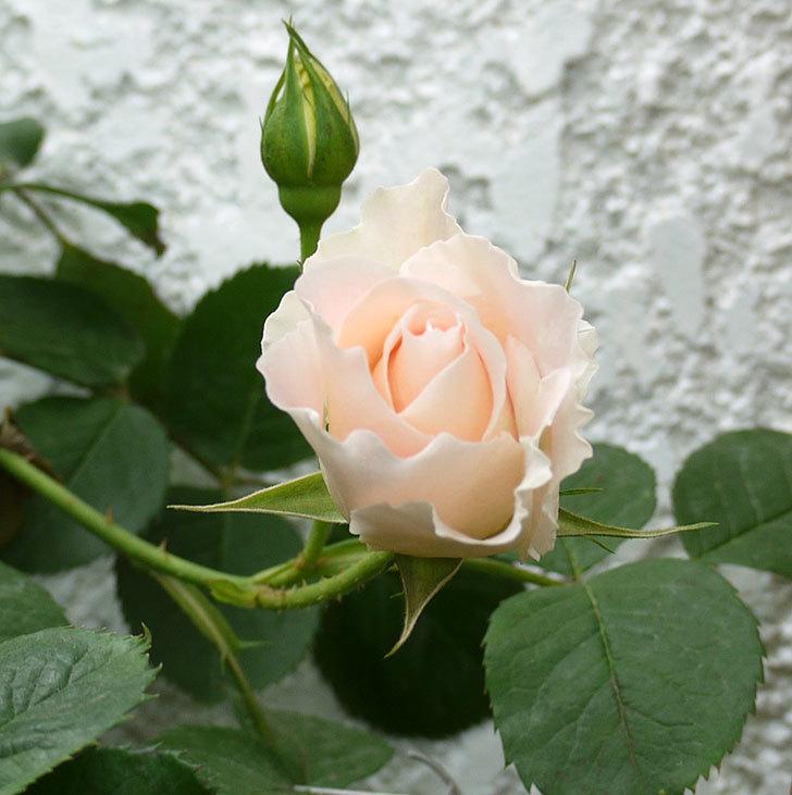 ロココ(ツルバラ)が咲いた。2017年-7.jpg