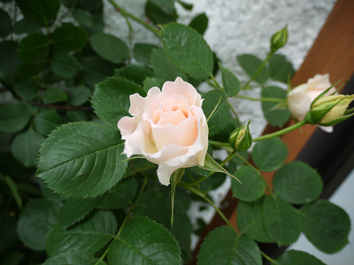 ロココ(ツルバラ)が咲いた。2017年-8.jpg