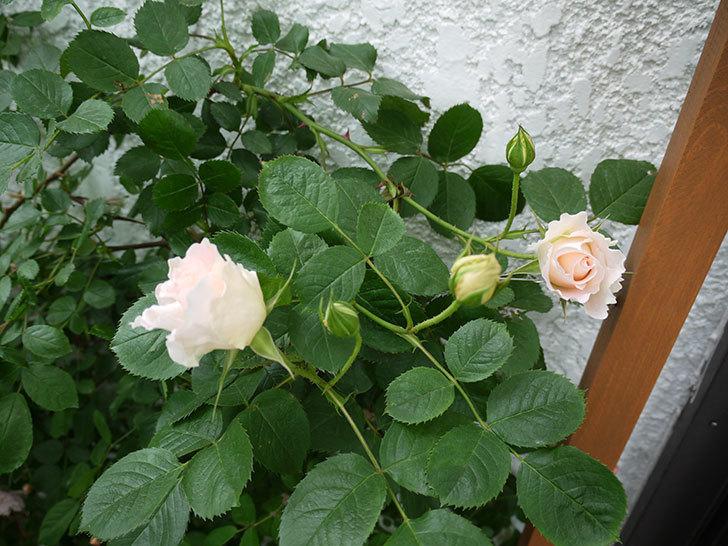 ロココ(ツルバラ)が咲いた。2017年-9.jpg