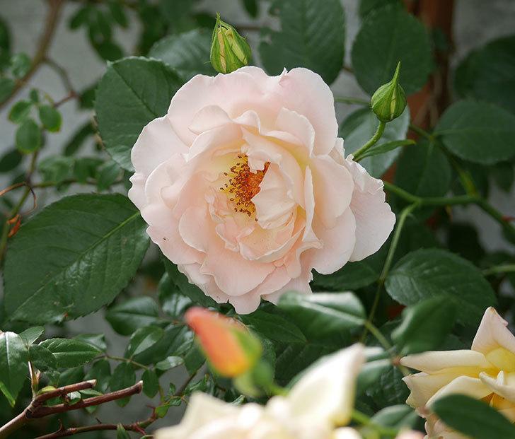 ロココ(ツルバラ)が咲いた。2018年-1.jpg