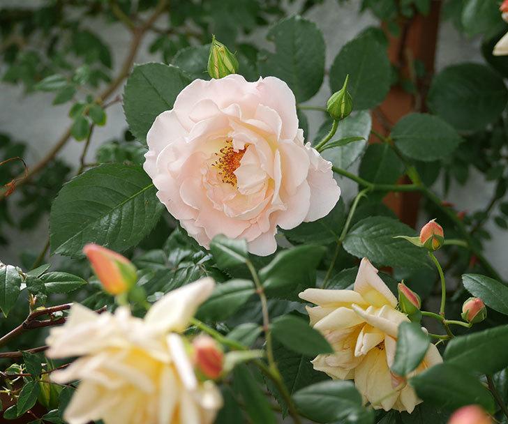 ロココ(ツルバラ)が咲いた。2018年-2.jpg
